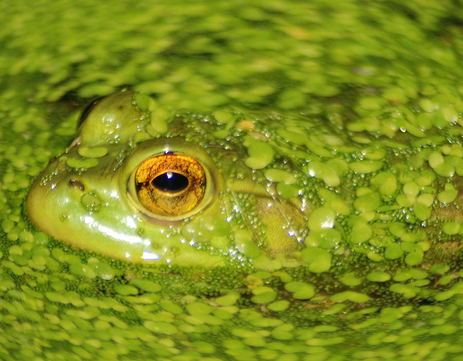Green Algae Photograph - Frog In Single Celled Algae by Optical Playground By MP Ray