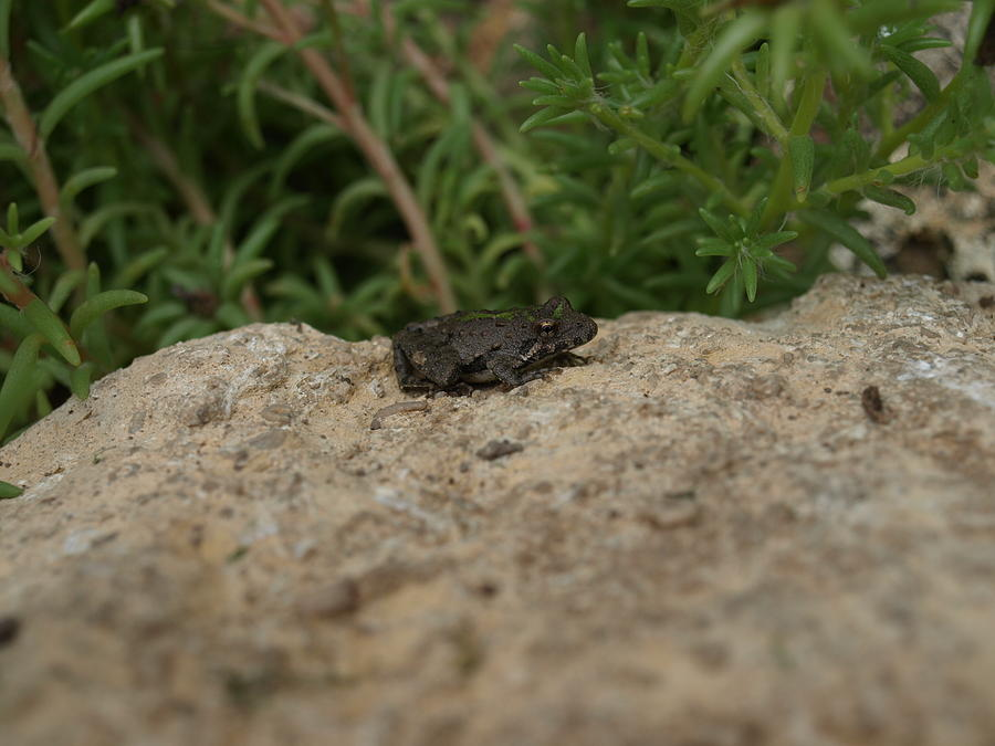 Missouri Frogs Photograph - Frog On Rock by Corina Bishop