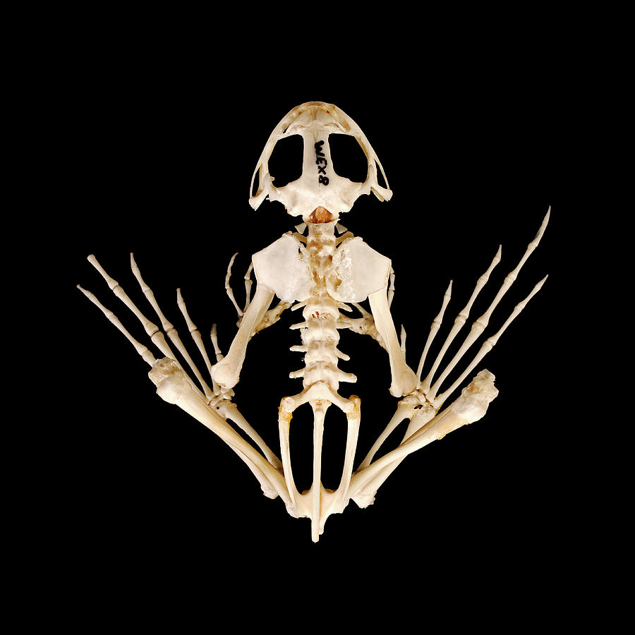 Frog Skeleton Photograph by Ucl, Grant Museum Of Zoology