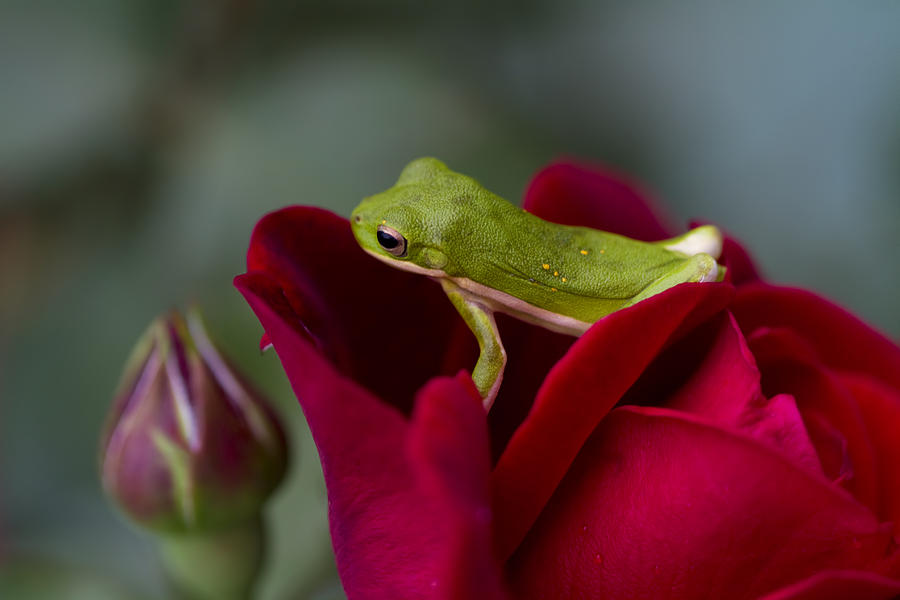 how to take care of a american green tree frog