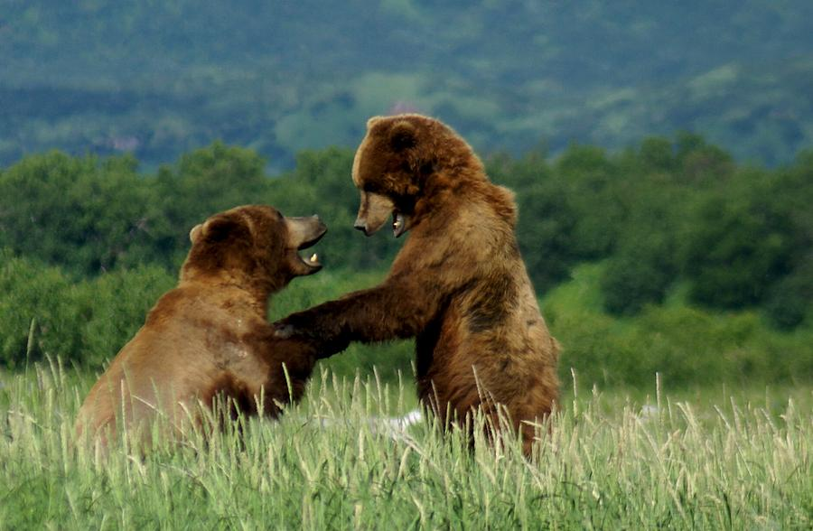 Bears Photograph - Frolicking Grizzly Bears by Patricia Twardzik