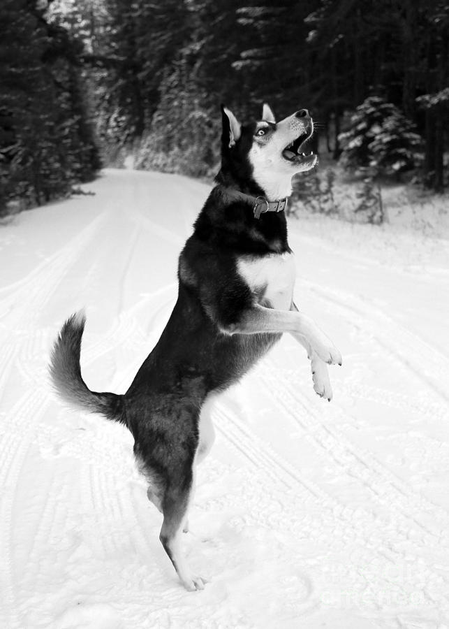 Dog Photograph - Frolicking In The Snow - Black And White by Carol Groenen