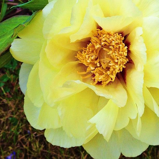 Flower Photograph - From Moms Peony Tree by Blenda Studio