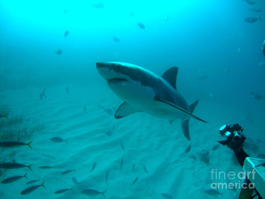 White Shark Photograph - From The Deep by Crystal Beckmann