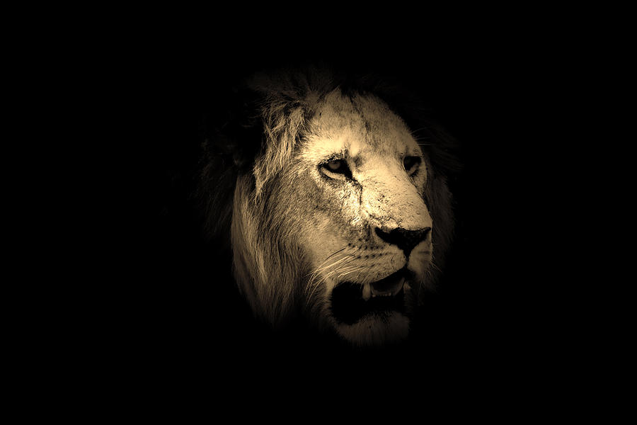 Lion Photograph - From The Shadows  by Aidan Moran