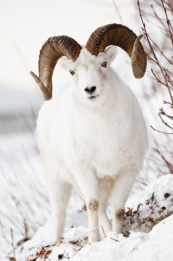 Front View Of A Full Curl Dall Sheep Photograph By Doug