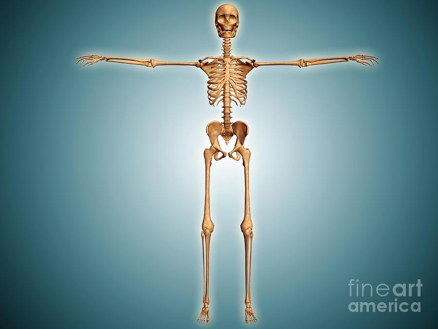 Appendicular Skeleton Digital Art - Front View Of Human Skeletal System by Stocktrek Images