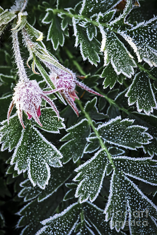 Frost Photograph - Frost On Plants In Late Fall by Elena Elisseeva
