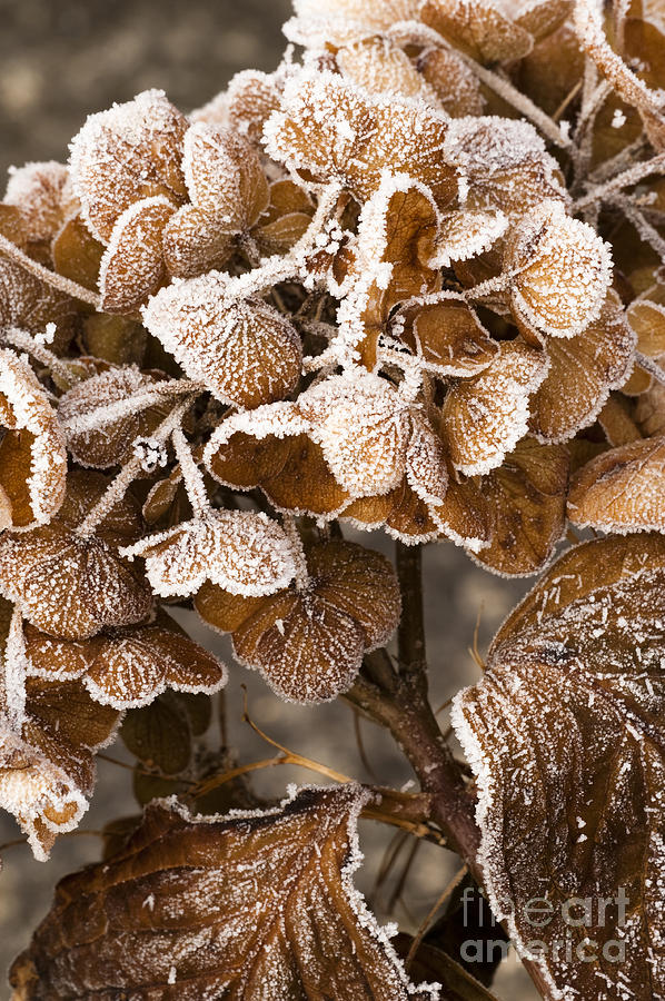 Frosted Photograph - Frosted Hydrangea by Anne Gilbert