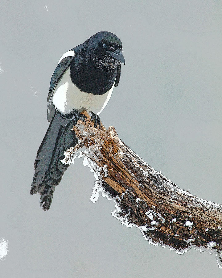 Abstract Digital Art - Frosted Magpie- Abstract by Tim Grams