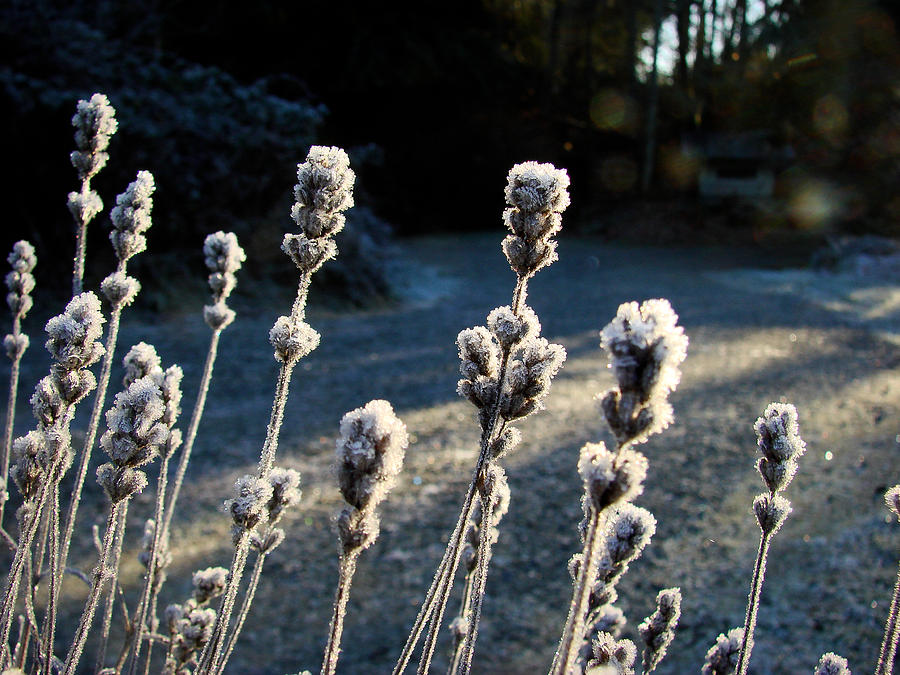 Close-up Photograph - Frosted by Ronda Broatch
