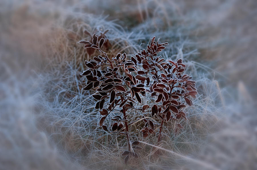 Natural Abstract Photograph - Frosted Rugosa by Susan Capuano