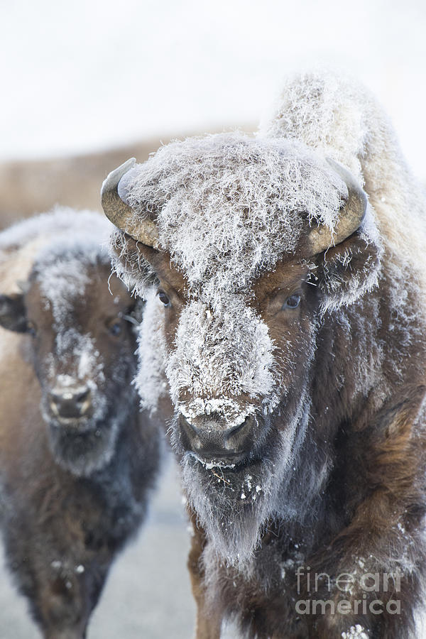 Bison Photograph - Frosty Bison by Deby Dixon