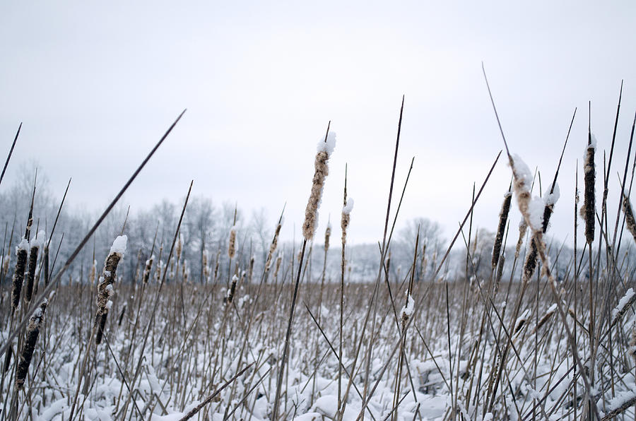 Frosty Cattails by Jim Shackett