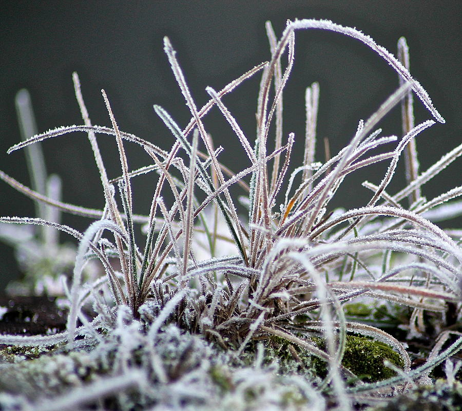 Grass Photograph - Frosty Grass by Karen Grist