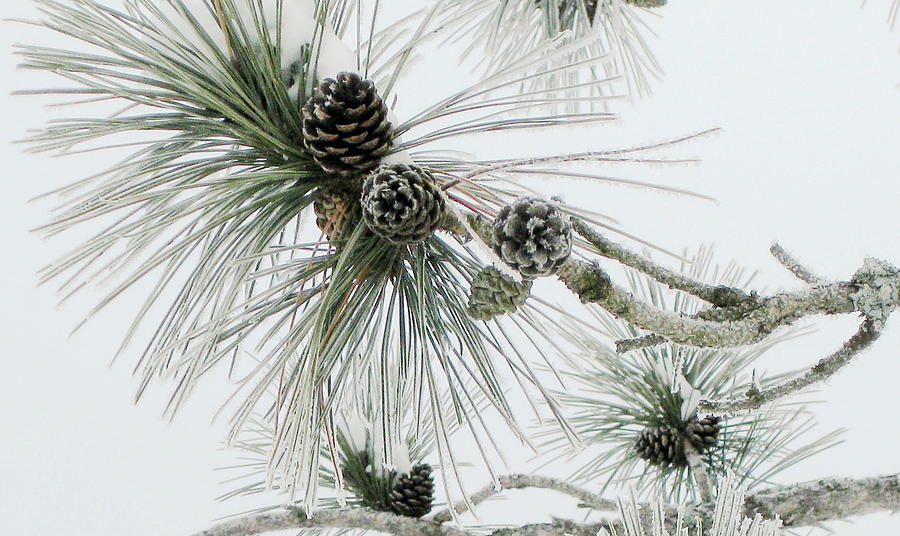 Pine Cones Photograph - Frosty Pine Cones by Carolyn Reinhart