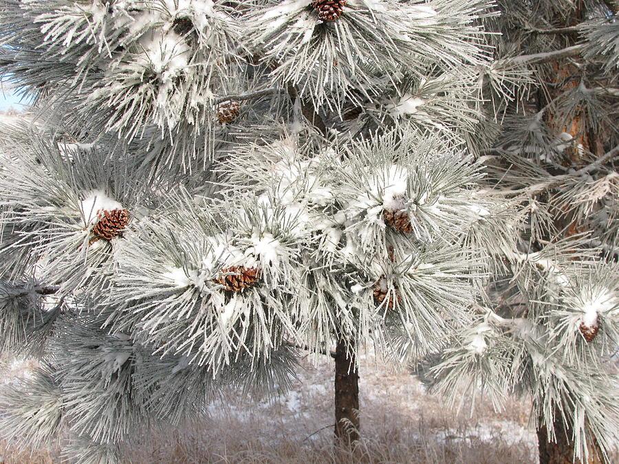 Snow Photograph - Frosty Pinetree by Steven Parker