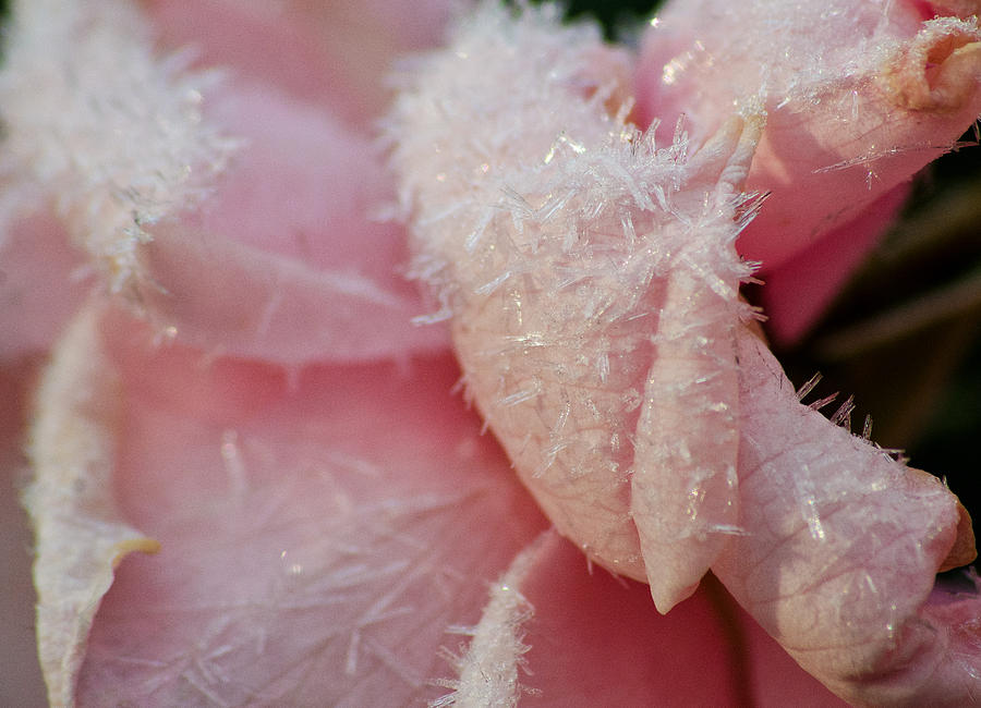 Frosted Rose Photograph - Frosty Rose by Floyd Aldrich