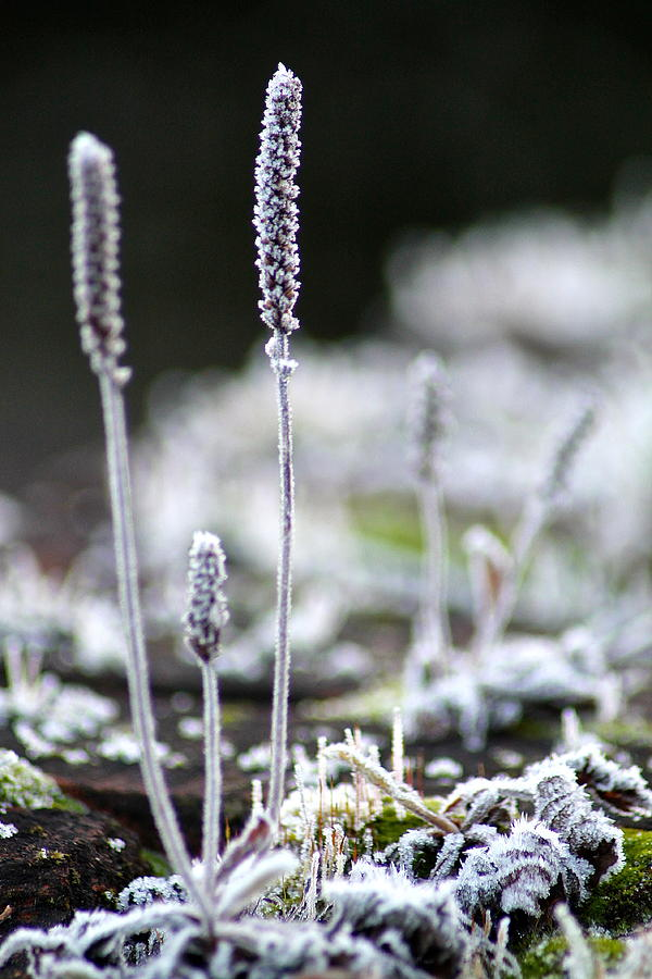 Frost Photograph - Frosty Weed by Karen Grist