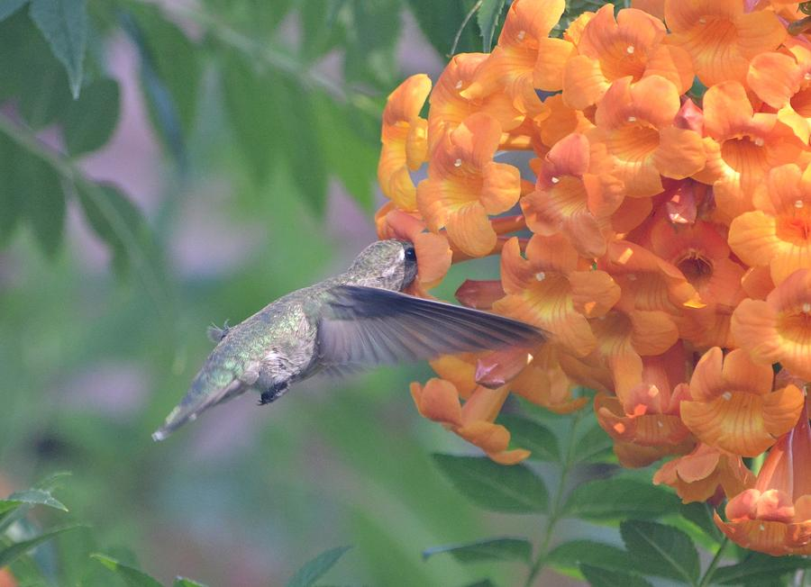 Orange Photograph - Frozen Hummingbird by Naomi Berhane
