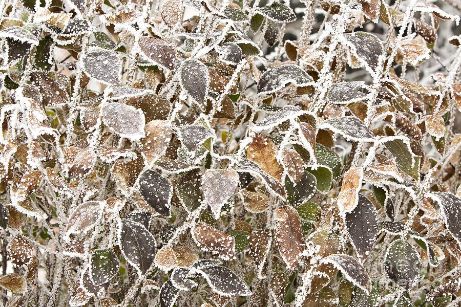 Frozen Leaves Photograph