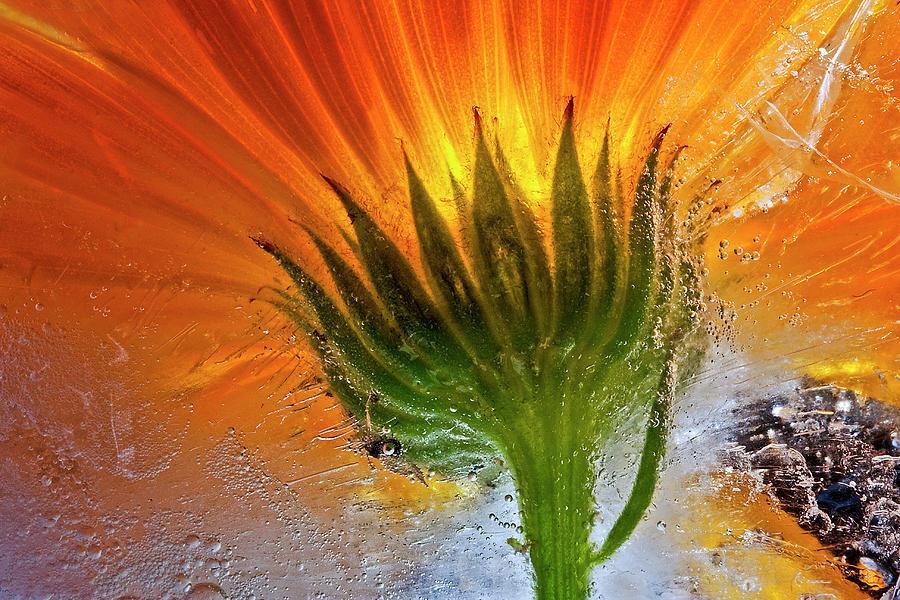 Flower Photograph - Frozen Marigold by Secundino Losada
