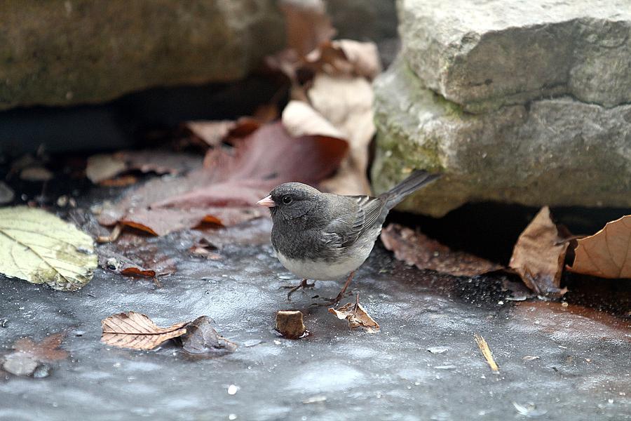 Dark Eyed Junco Photograph - Frozen Pond by Elizabeth Winter