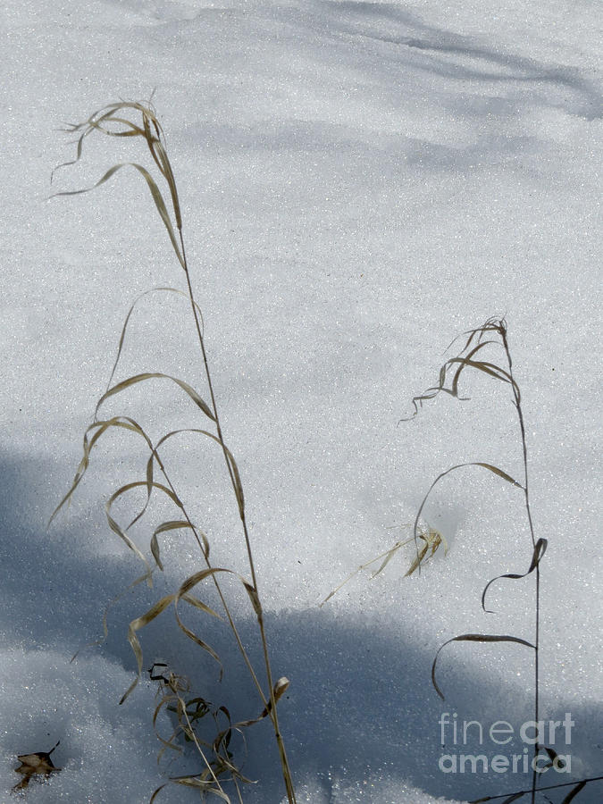 Scene Photograph - Frozen Wheat by Mary Mikawoz