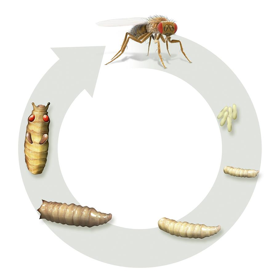 understanding the life cycle of the fruitfly Mendelian genetics: lessons from the fruit fly have a relatively short life cycle (approx - fruit fly 3 1 8.
