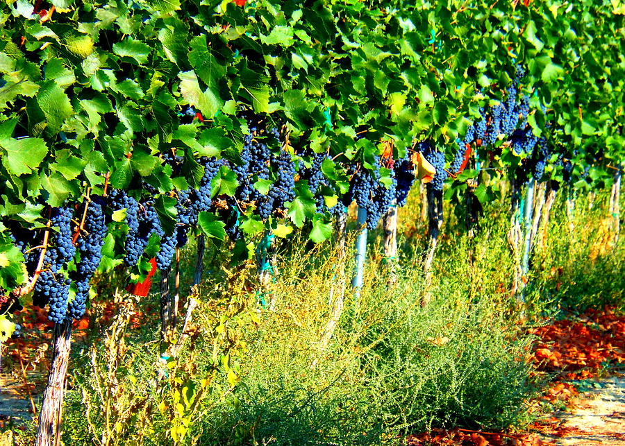 Grapes Photograph - Fruit Of The Vine by Kay Gilley