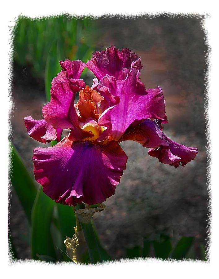 Flower Photograph - Fuchia Iris by Wynn Davis-Shanks