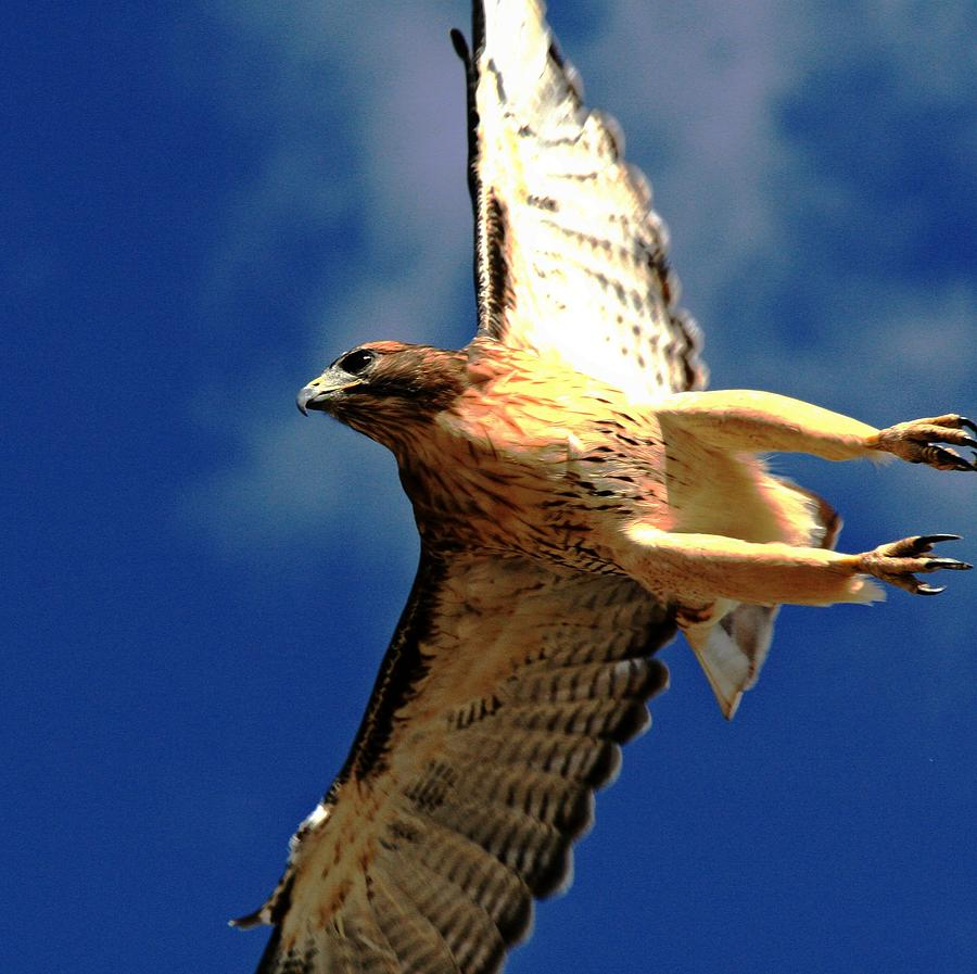 Redtail Hawk Photograph - Full Flight by Rebecca Adams