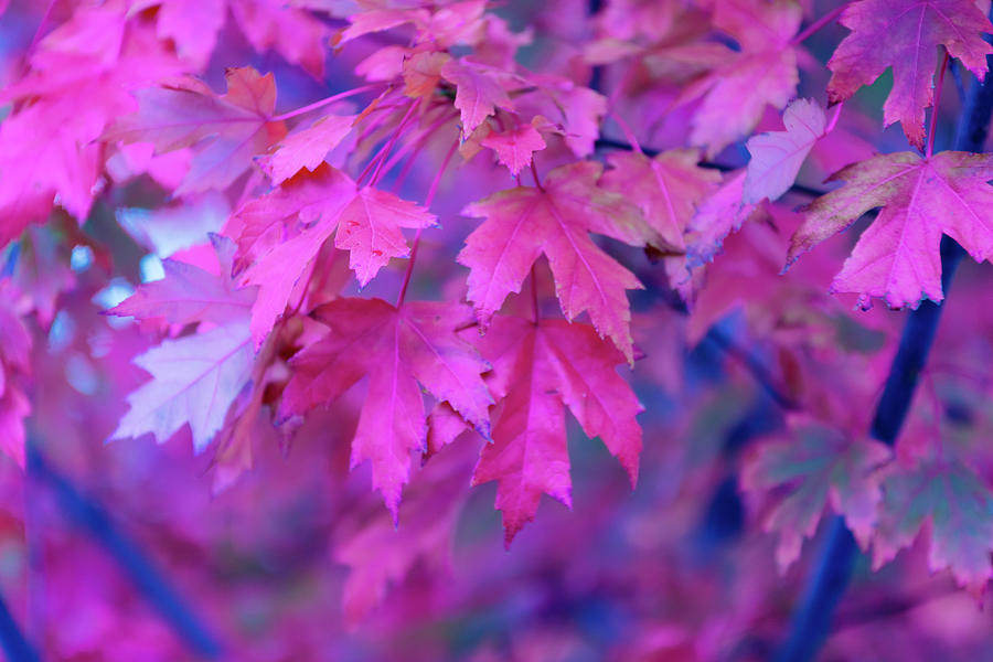 Full Frame Of Maple Leaves In Pink And Photograph by Noelia Ramon - Tellinglife
