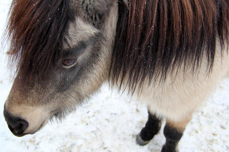 Miniature Horse Photograph - Full Of Apples by Kathy Bassett