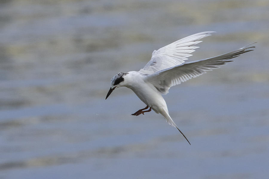 Tern Photograph - Full Stall by Charles Warren