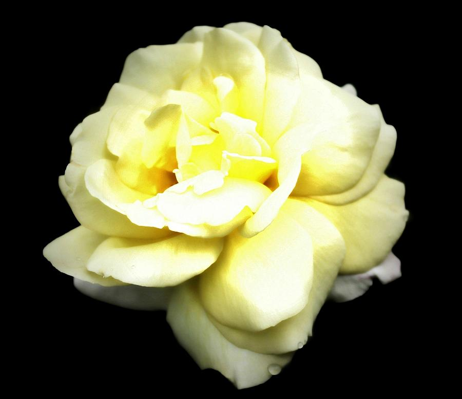 Yellow Roses Photograph - Fully Bloomed by Cathie Tyler