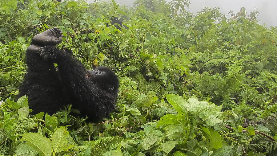 Rwanda Photograph - Fun Times In The Rainforest by Paul Weaver
