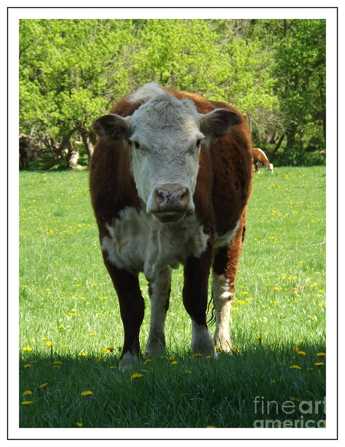 Cow Photograph - Funny Farm by Sara  Raber