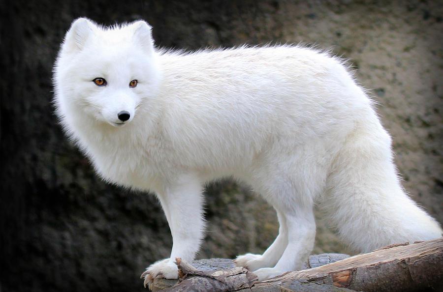 https://images.fineartamerica.com/images-medium-large-5/furry-arctic-fox-ii-athena-mckinzie.jpg