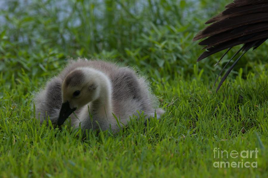 Furry Baby Gosling Photograph