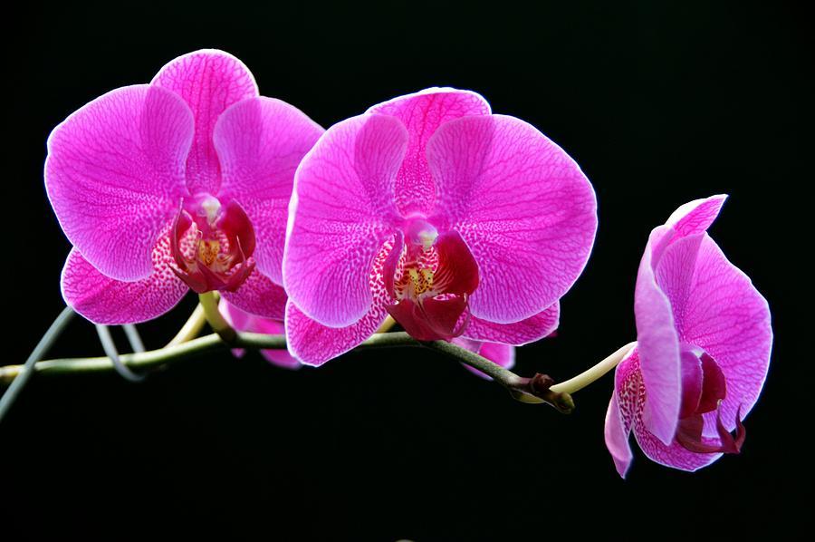 Orchids Photograph - Fuschia Trio by David Earl Johnson
