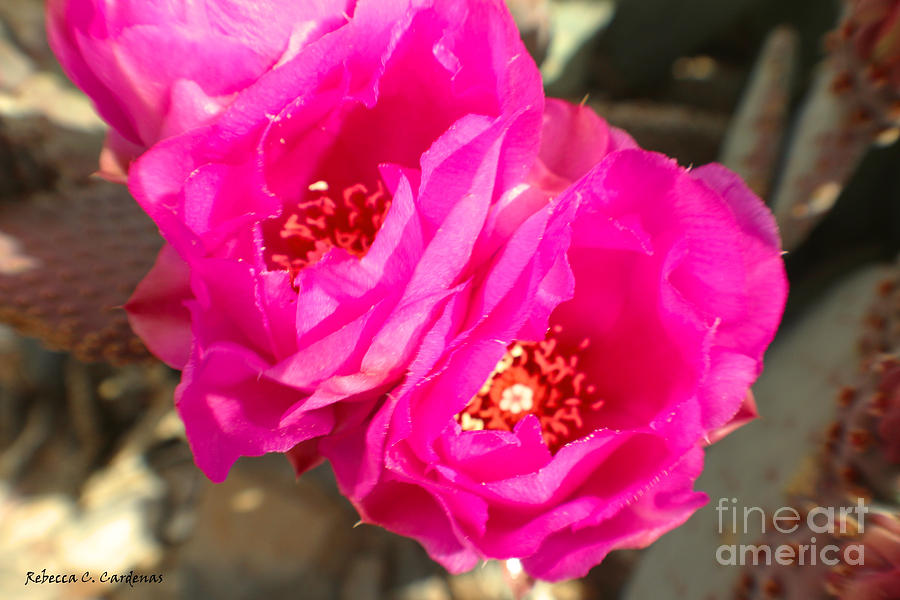 Desert Photograph - Fuscia Desert Rose by Rebecca Christine Cardenas