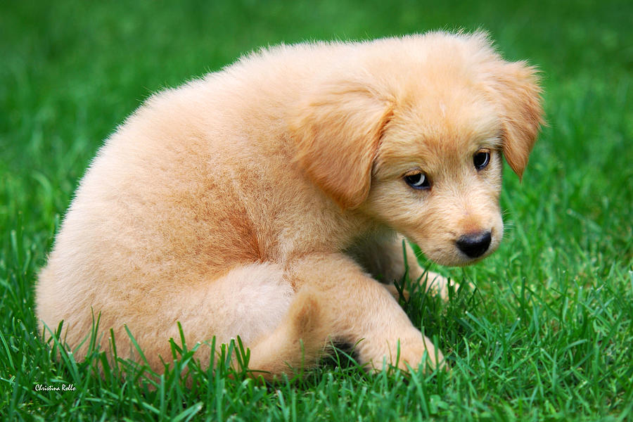 Puppy Photograph - Fuzzy Golden Puppy by Christina Rollo
