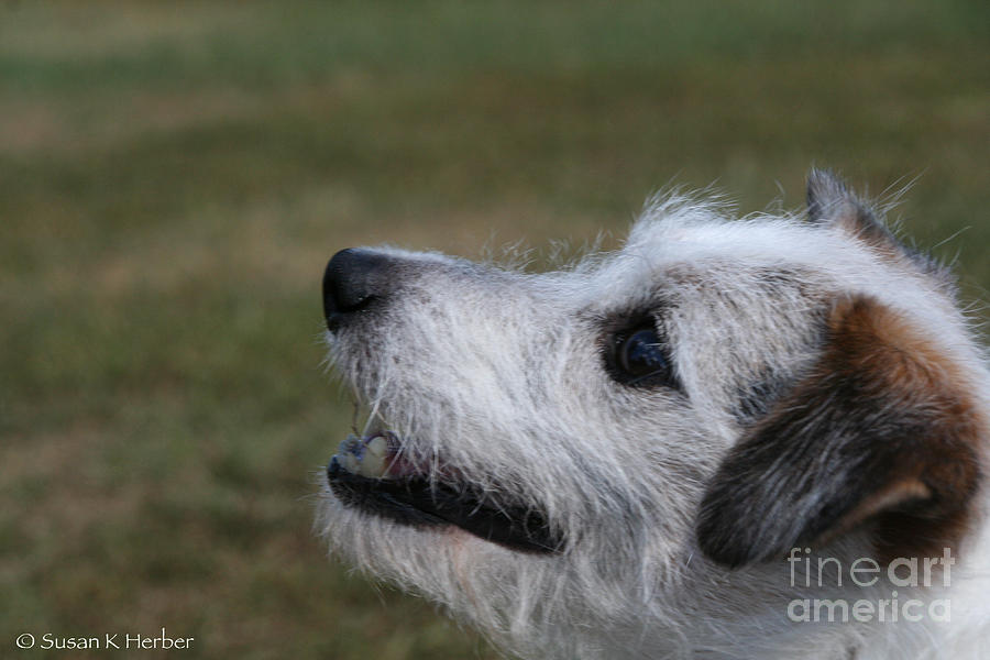 Dog Photograph - Fuzzy Whiskers by Susan Herber