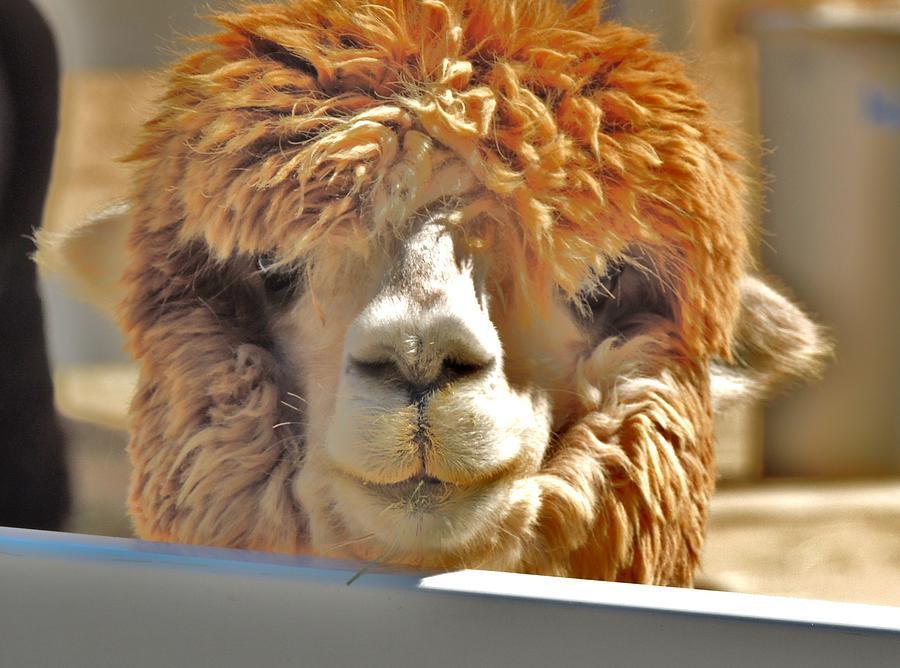 Alpaca Photograph - Fuzzy Wuzzy Alpaca by Helen Carson