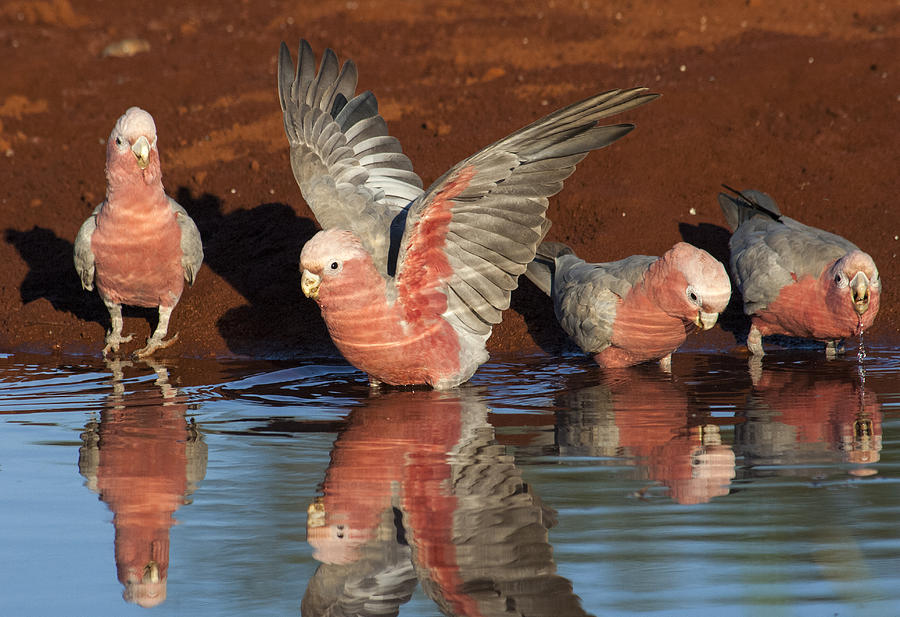 Galahs Drinking Western Australia Photograph by D. Parer & E. Parer-Cook