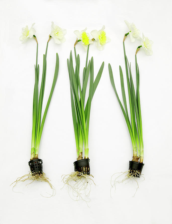 Narcissus Photograph - Galantamine Research by Colin Cuthbert/science Photo Library