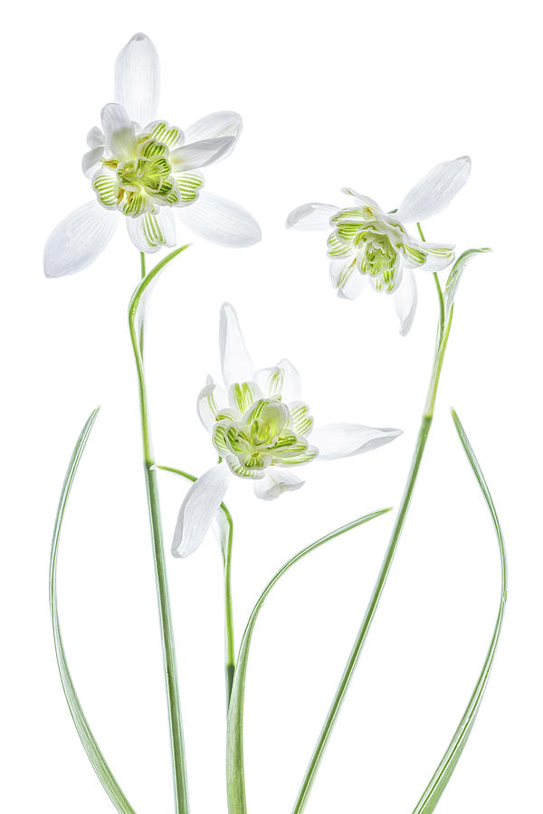 High Key Photograph - Galanthus Flore Pleno by Mandy Disher
