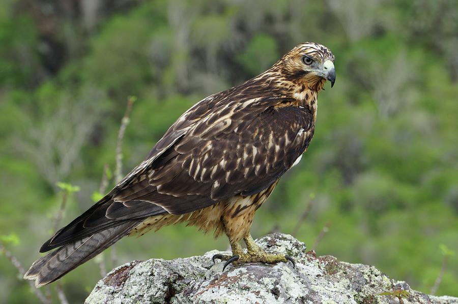 Bird Photograph - Galapagos Hawk Buteo Galapagoensis by Photostock-israel/science Photo Library