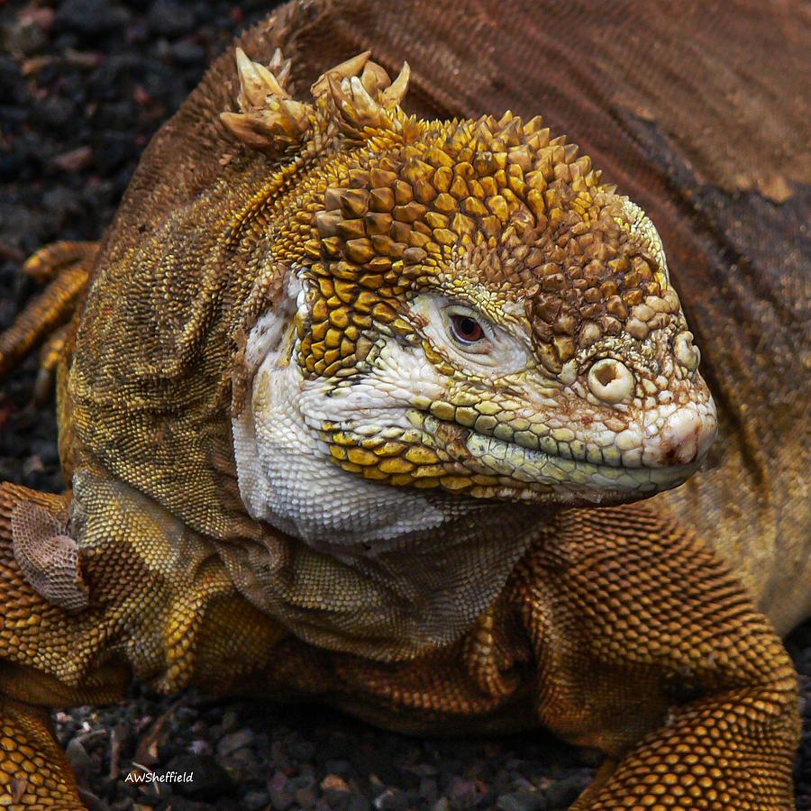 Galapagos Photograph - Galapagos Land Iguana  by Allen Sheffield